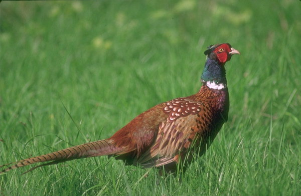 В зеленом поясе Астаны будут разводить фазанов